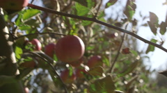Apples in orchard handheld Stock Footage