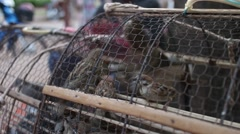 Medium shot oblique view of captive lucky birds in a cage in Asia Stock Footage