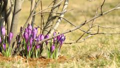 Beautiful violet crocuses with slider Stock Footage