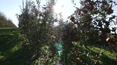 Apple tree orchard Stock Footage