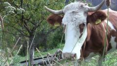 Brown cow grazing at the edge of the road on a mountainous coast 39 Stock Footage