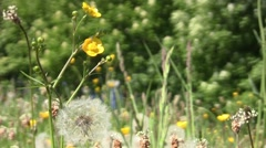 Dandelion fluff and yellow flowers in the warm summer wind 91 Stock Footage