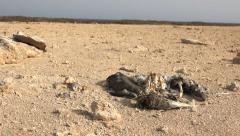 Dead bird corpse in the barren desert. Slider shot of animal skeleton - stock footage