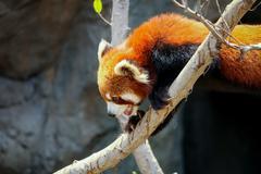Red panda climbing on tree - stock photo