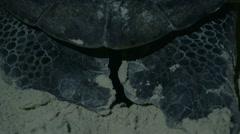 Sea Turtle Lays Eggs Stock Footage