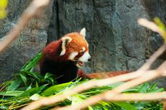 Cute red panda eating bamboo - stock photo
