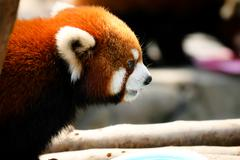 Cute red panda - stock photo