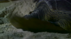 Sea Turtle Nesting Face Stock Footage