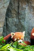 Cute red panda laying down - stock photo