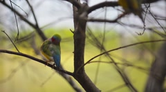 Gouldian finch (Erythrura gouldiae) - stock footage