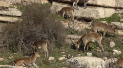 Iberian ibex herd Stock Footage