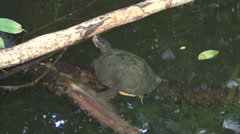 Slider Turtle in pond. Stock Footage