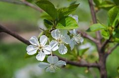 Flower cherry Stock Photos