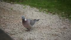 Wood pigeon walking in the park Stock Footage