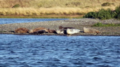 Harbor Seals On River Bank And In Water - stock footage