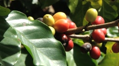 Red Arabica coffee beans at the plantation in Jarabacoa in Dominican Republic. Stock Footage