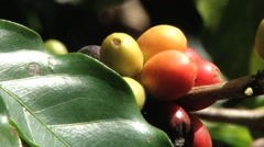 Red Arabica coffee beans at the plantation in Jarabacoa in Dominican Republic. - stock footage