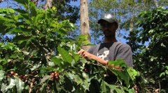 Farmer harvests coffee beans at the plantation in Jarabacoa, Dominican Republic. - stock footage