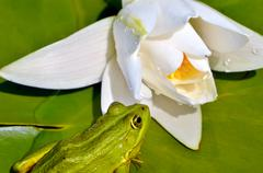 Frog sits on a green leaf among white lilies in a pond - stock photo