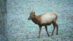 Elk Stock Footage