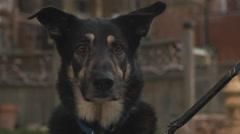 German Shepherd Dog Looking Towards Camera. Stock Footage