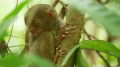 Tarsier, an endangered species. Stock Footage