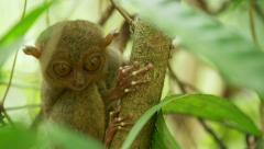 Tarsier, an endangered species. - stock footage