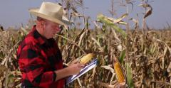Farmer Worker Inspecting Maize Cornfield Take Clipboard Notes Examine Corncobs Stock Footage