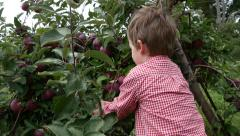 Toddler boy picks an apple from a tree then walks away - stock footage
