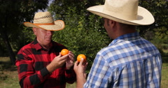 Farmland Gardeners Mandarin Orange Analyse Fruit Test Good Quality Presentation Stock Footage