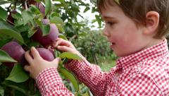 Toddler boy grabs an apple from a tree and then walks away, medium shot - stock footage