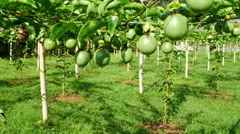 Passion fruits on the vine Stock Footage