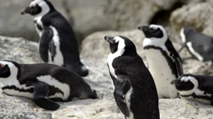 Group of Penguins at boulders beach Stock Footage