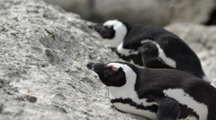 Two Penguins laying sleepy on the rocks Stock Footage
