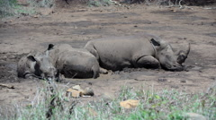Group rhinos sleeping in a dry waterpool Stock Footage