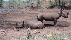 Rhino family runs away from a dry waterpool Stock Footage