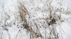 Weeds its way through the snow Stock Footage