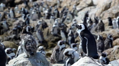 Penguin colony with molting penguins Stock Footage