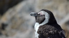 Close up from a molting penguin at  Stony Point South Africa Stock Footage