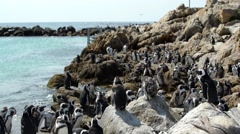 Penguin colony close to the water at Stony Point South Africa Stock Footage