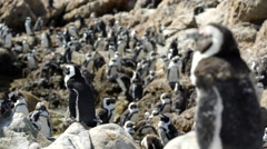 Molting penguin colony at the rocks Stock Footage