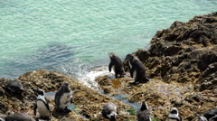 Two penguins walking on to the water at Stony Point South Africa Stock Footage