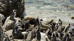 Crowded penguin colony Stock Footage