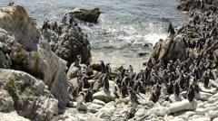 Big penguin colony at the rocks in Stony Point South Africa Stock Footage