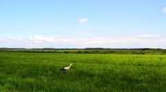 The white stork (Ciconia) Stock Footage