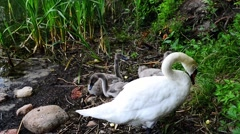 Stock Video Footage of Swans are birds of family Anatidae within Cygnus