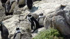 Penguin colony at the rocks in Stony Point South Africa Stock Footage