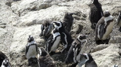 Penguin stretching out at the rocks in Stony Point South Africa Stock Footage