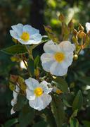 White Flowers Laurel Rockrose Stock Photos
