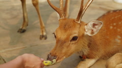 Girl feeding the deers banana from hand Stock Footage